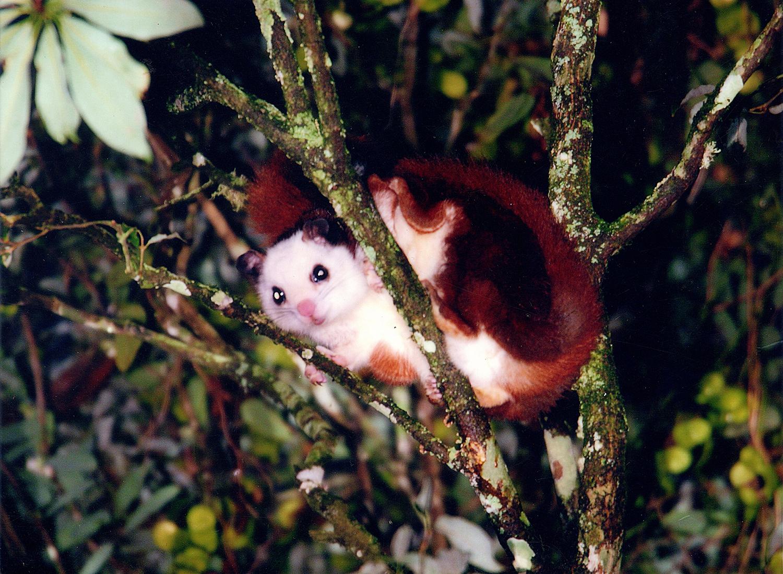 嘉義縣竹崎鄉光華村生態保育有成,可在此看見白面鼯鼠的蹤跡。圖:象水廣告/攝