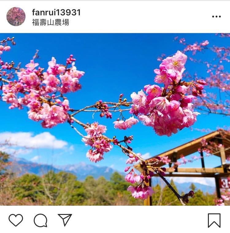 「福壽山農場」內的櫻花林真的超迷人。圖:翻攝自instagram fanrui13931/開放權限