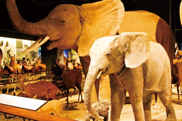 馆内动物厅,以等比例製作的动物标本栩栩如生,让人看得目不转睛。