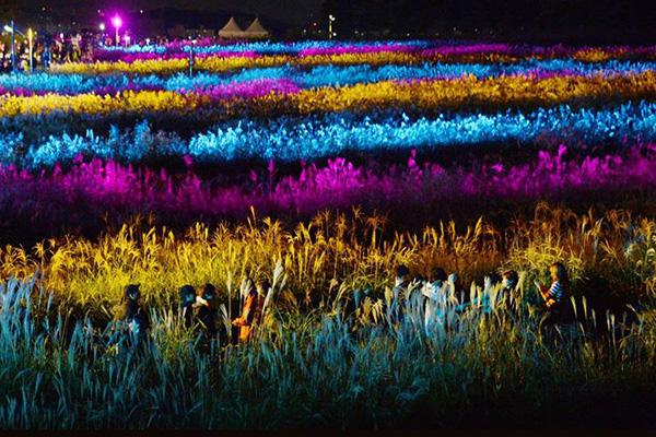 紫芒節夜間會在紫芒花上投射燈光,讓紫芒花海散發出另一種不一樣的美。