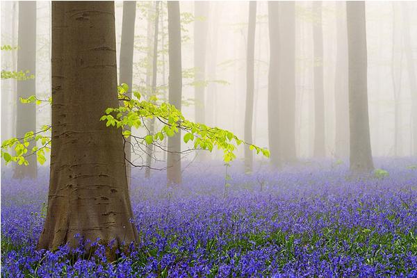 霧中的哈勒森林,更添神秘空靈感。(圖片來源/boredpanda 攝影/Jimmy De Taeye)
