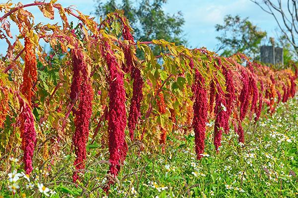 紅藜富含高營養價值