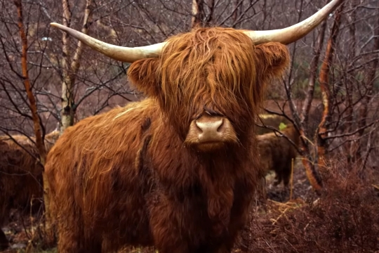 又長又彎的牛角以及雷鬼頭是蘇格蘭高地牛的特徵。