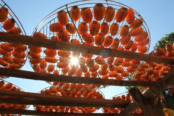 柿餅被陽光曬得透亮,看起來非常美味。(圖片來源/味衛佳柿餅觀光農場粉絲專頁)