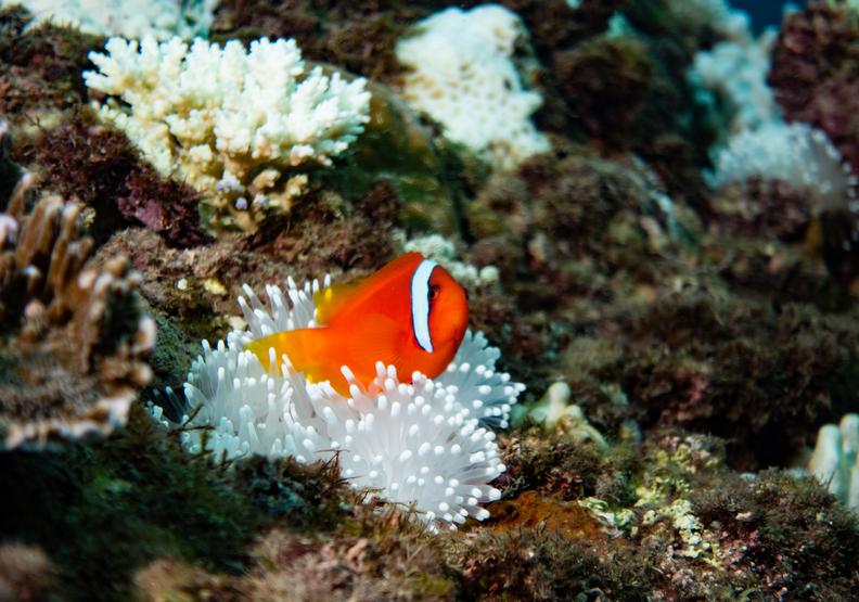 珊瑚白化會嚴重影響大海生態