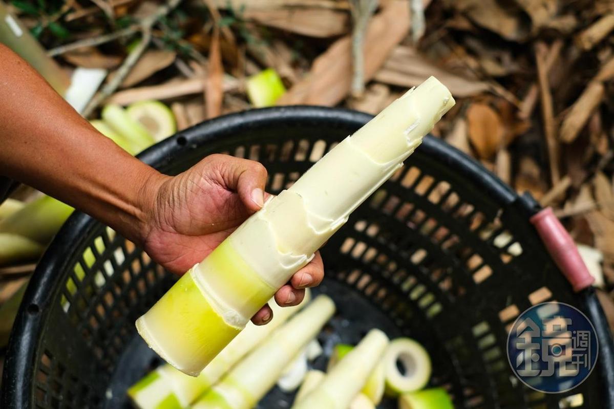 功力深厚的筍農,處理完的麻竹筍節節分明。