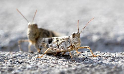 Its not cricket – but Las Vegas grasshopper invasion is harmless