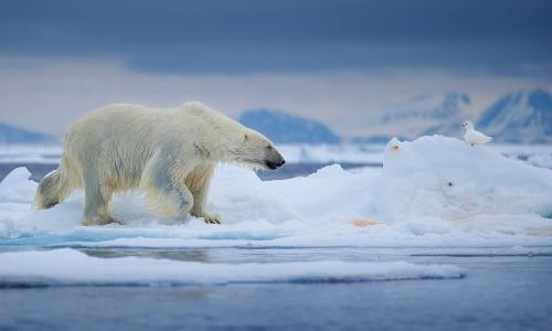 We know they arent feeding: fears for polar bears over shrinking Arctic ice