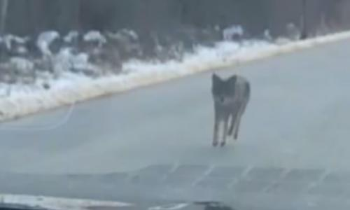 New Hampshire man chokes to death coyote who attacked toddler