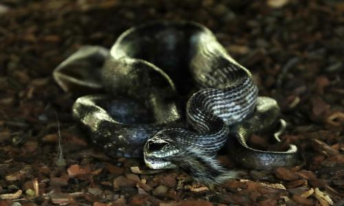 Rise in snakebites across US linked to climate crisis and sprawling suburbs