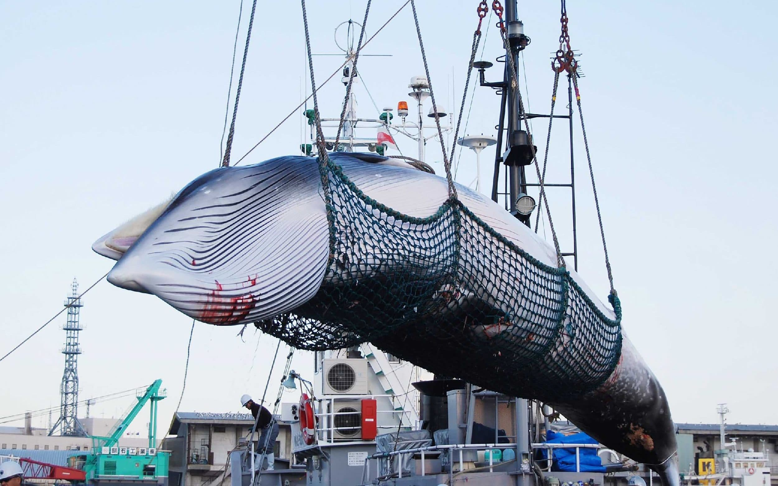 Japanese whaling ships prepare first commercial hunt in more than 30 years
