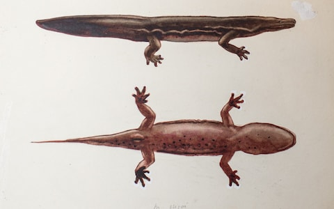 Salamander that lived at London Zoo for 20 years could be the largest amphibian in the world