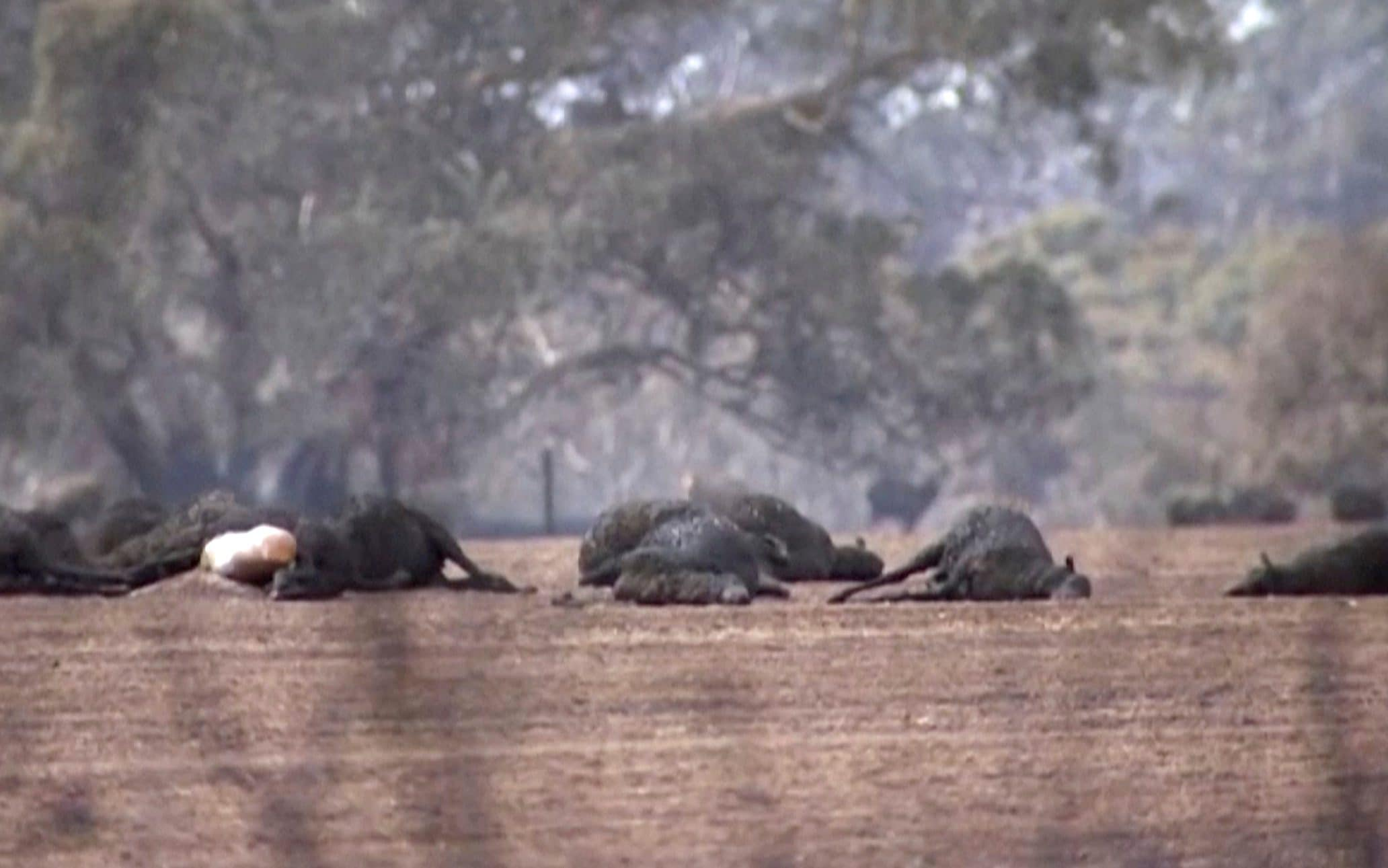 Thousands of koalas burn to death as Australia fears native wildlife may never recover from bush fire disaster