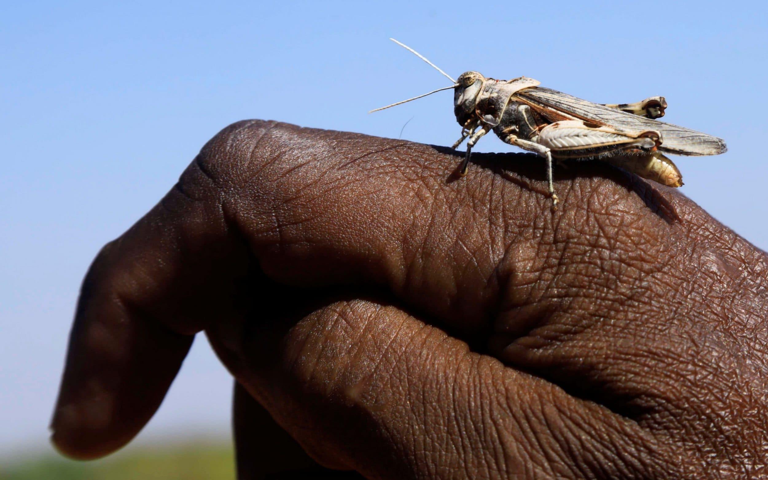 Al Shabaab shoot locusts with machine guns as Somalia battles biggest swarms in 25 years