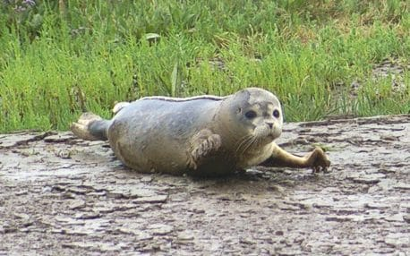 More than 100 seal pups born in the Thames 60 years after the river was declared biologically dead