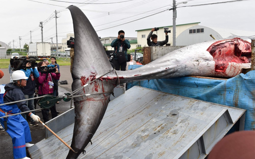 Japanese whalers bring catches ashore after first commercial hunt for three decades
