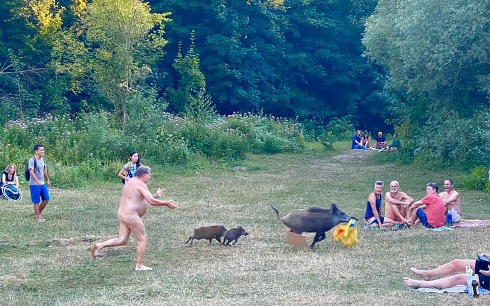 Wild boar who stole German nudists clothes to be culled