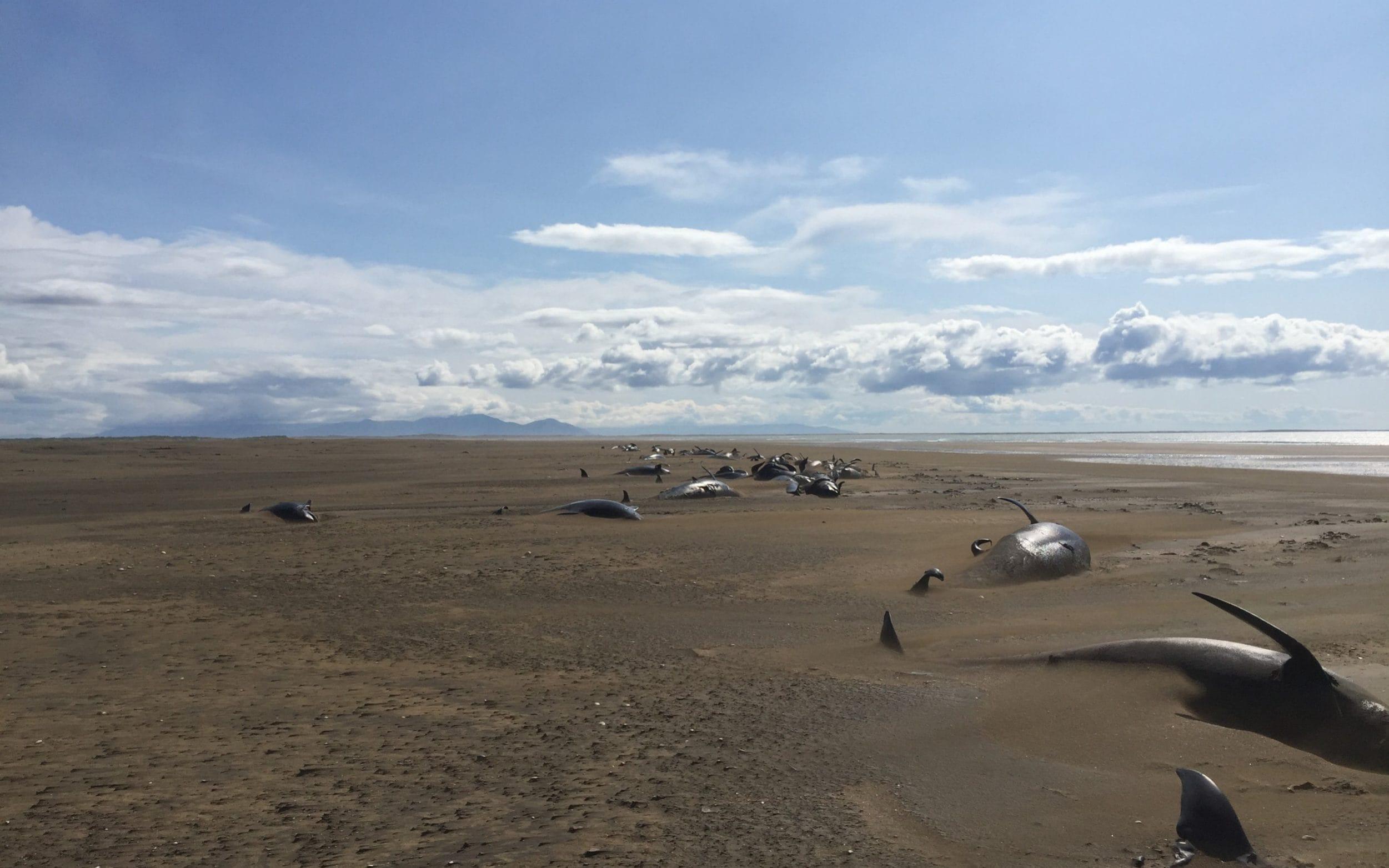 Dozens of whales wash up on Icelandic beach