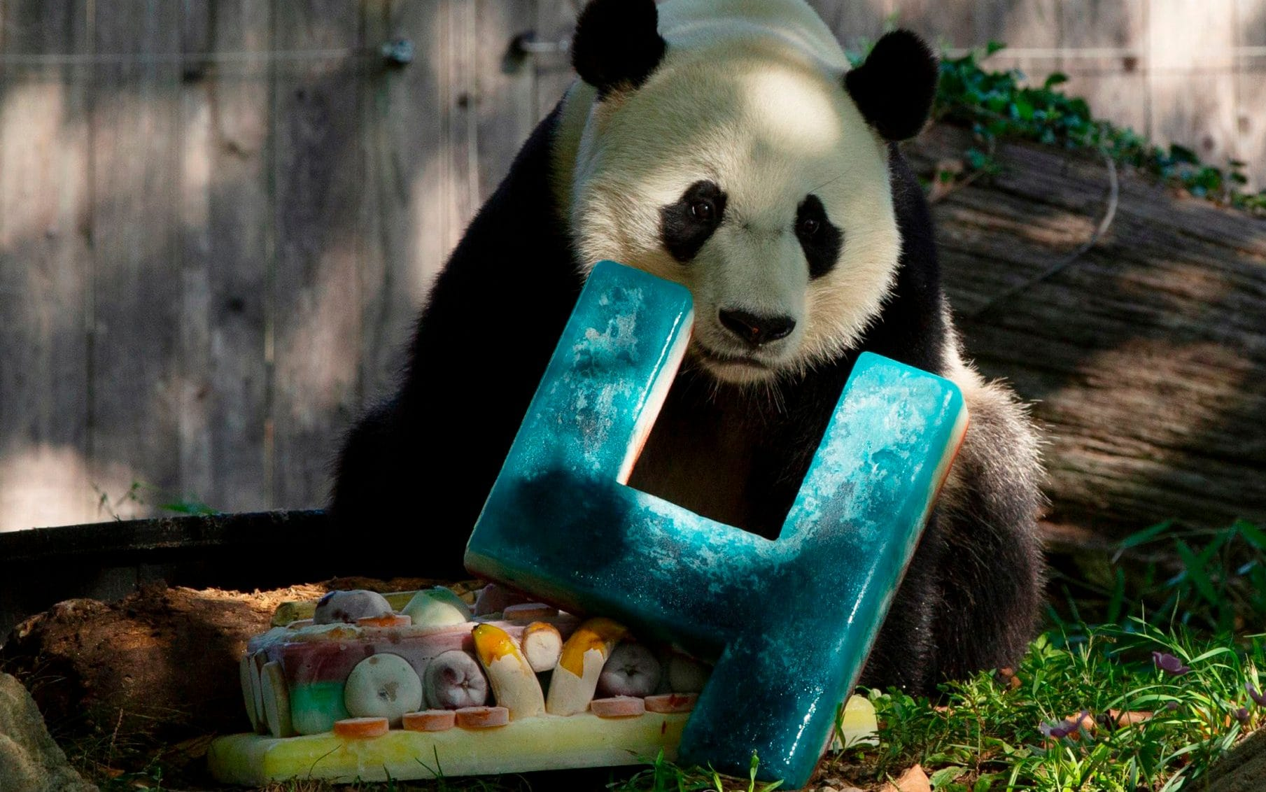Washingtons giant pandas could be sent back to China in latest casualty of US-China trade war