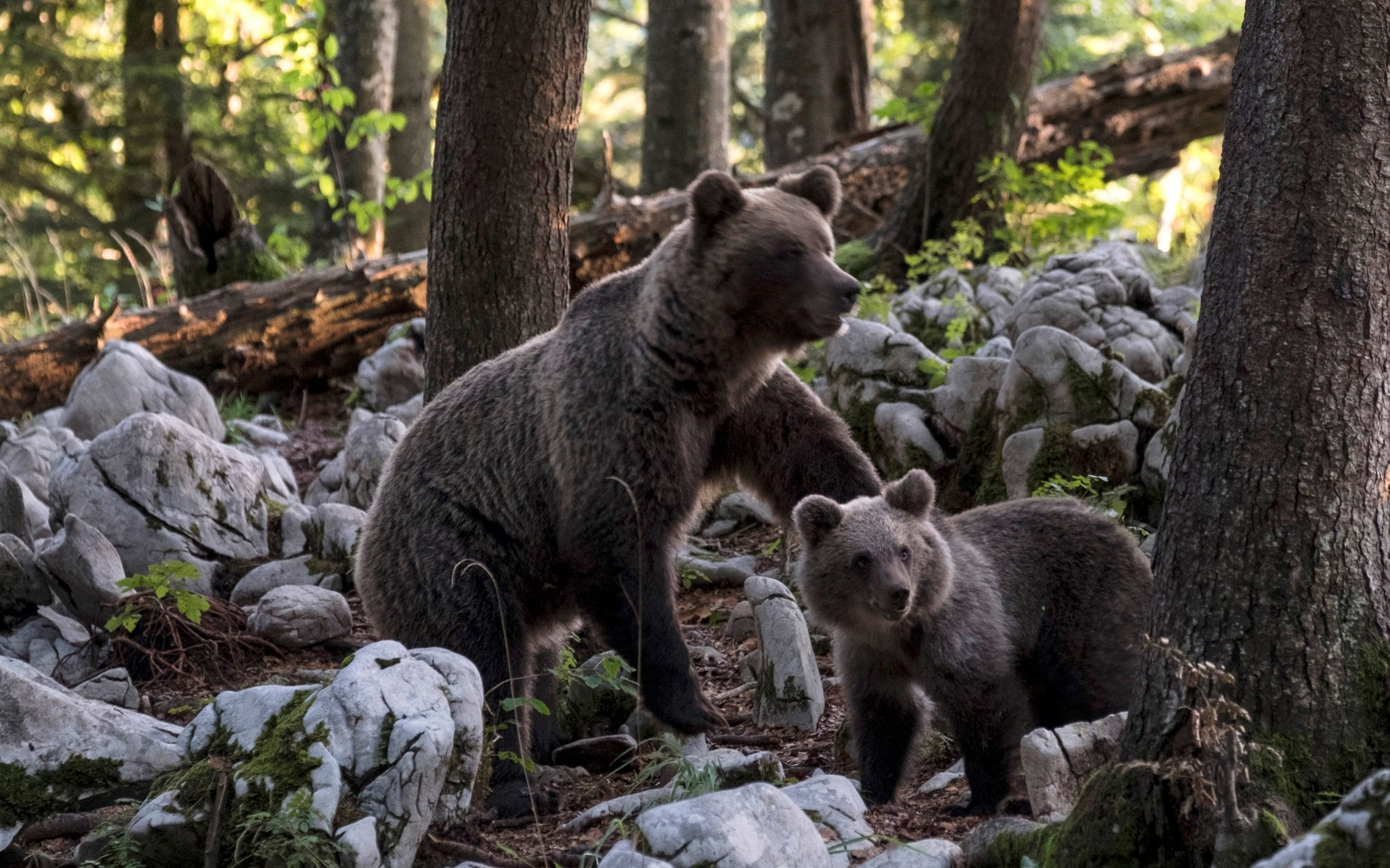 Hungry brown bears who took over Slovenias forests face being shot before they reach the villages