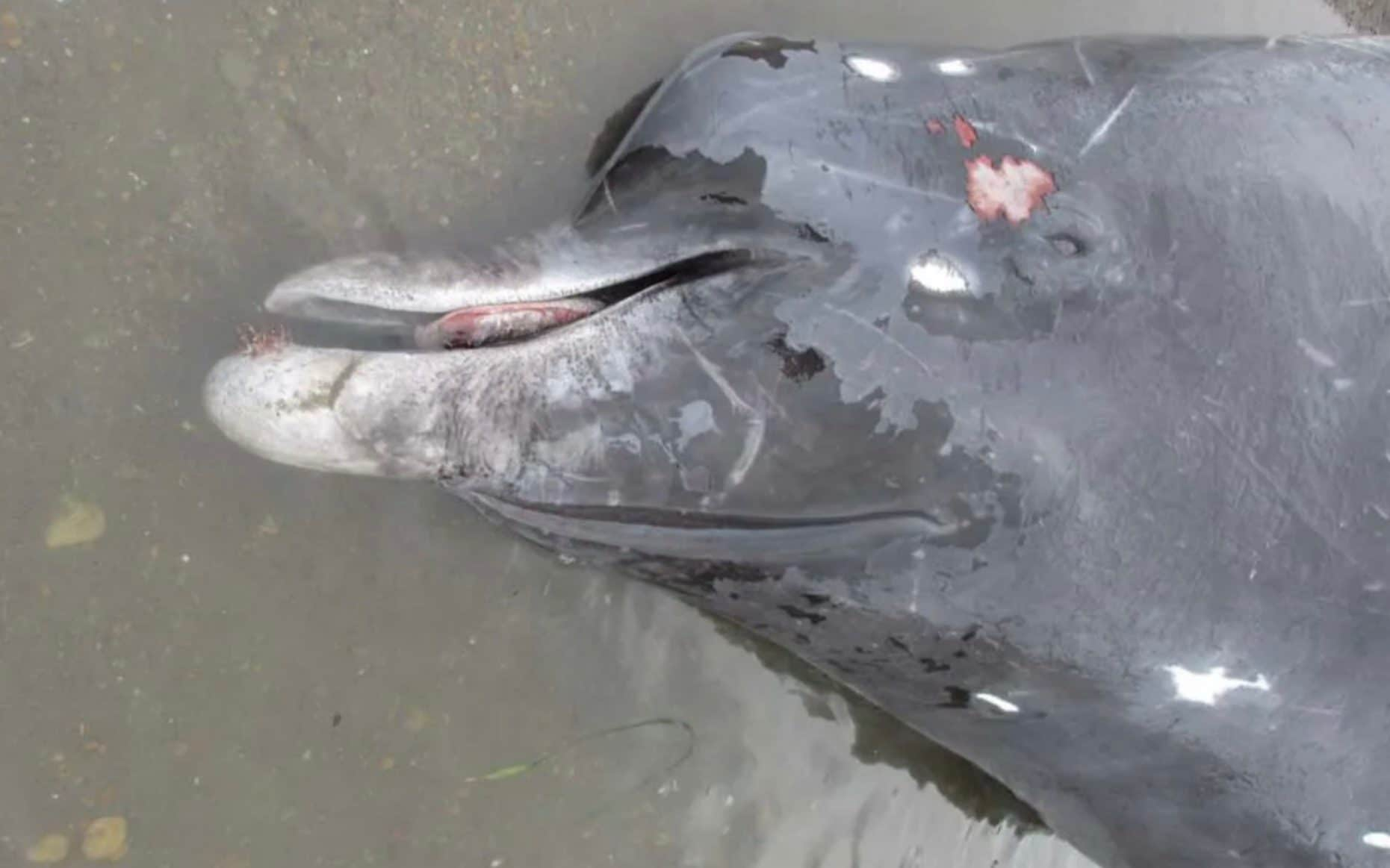 Scientists discover new beaked whale species off Japanese coast
