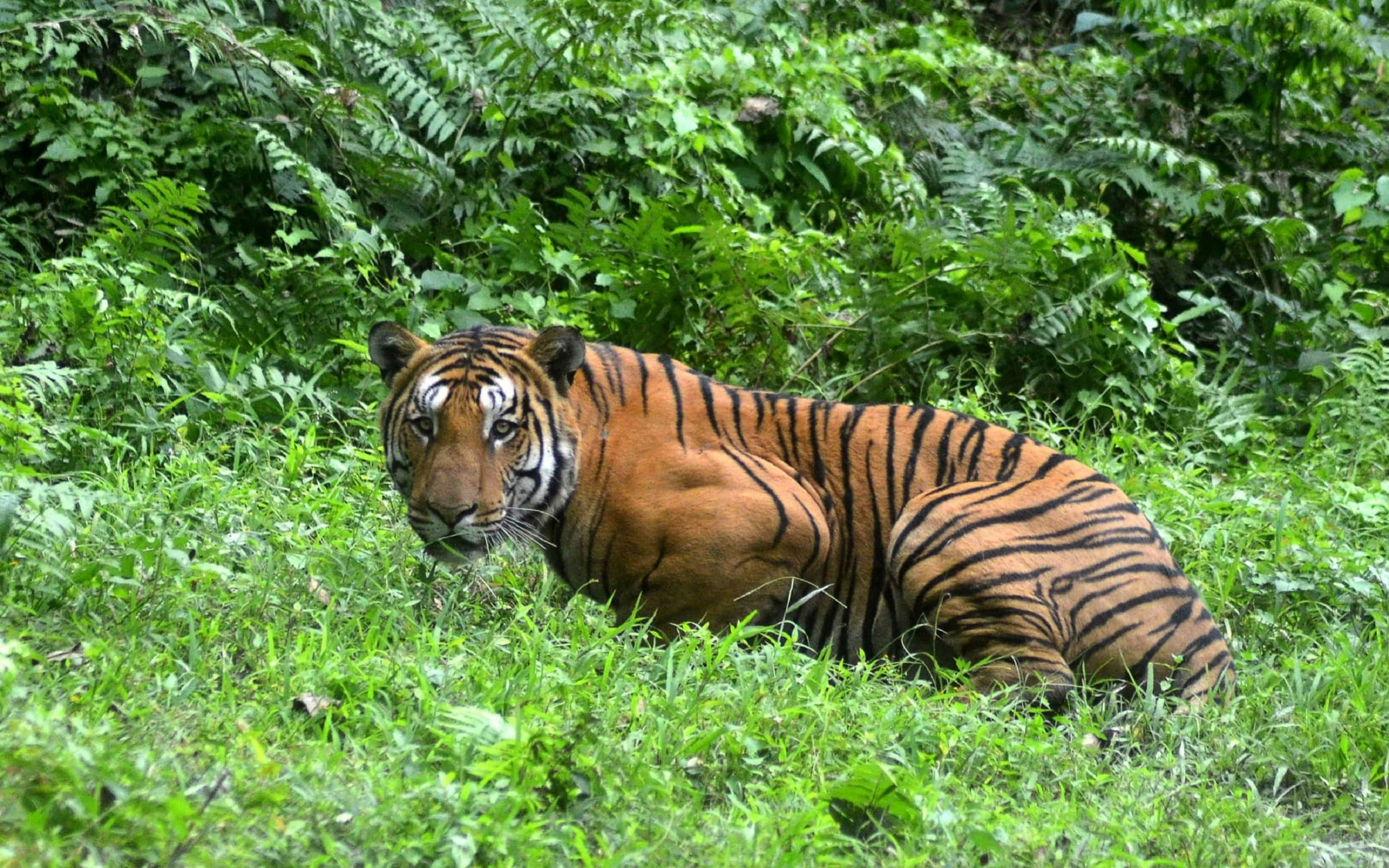 Paper tigers: Indias big cat surveys over reporting numbers