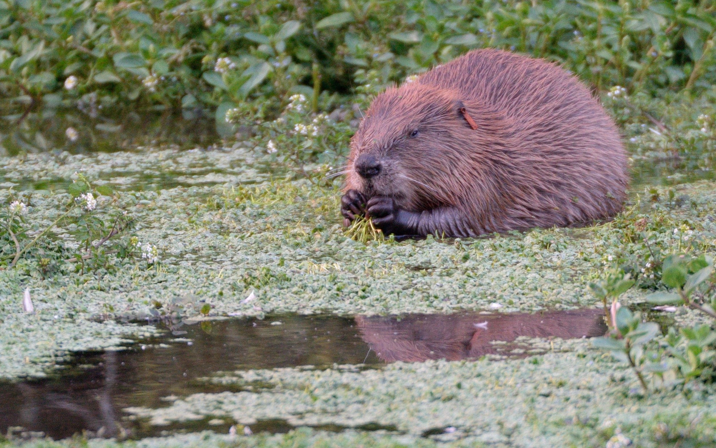 Reintroduction of beavers could protect land against floods and climate change