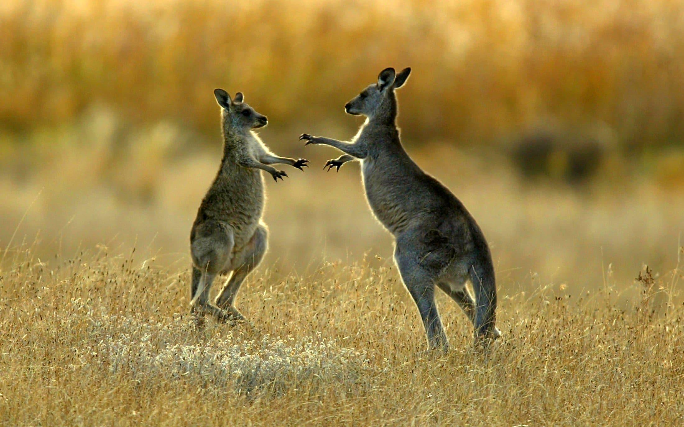 Versace renounces use of kangaroo leather as millions of marsupials die in Australian bush fires