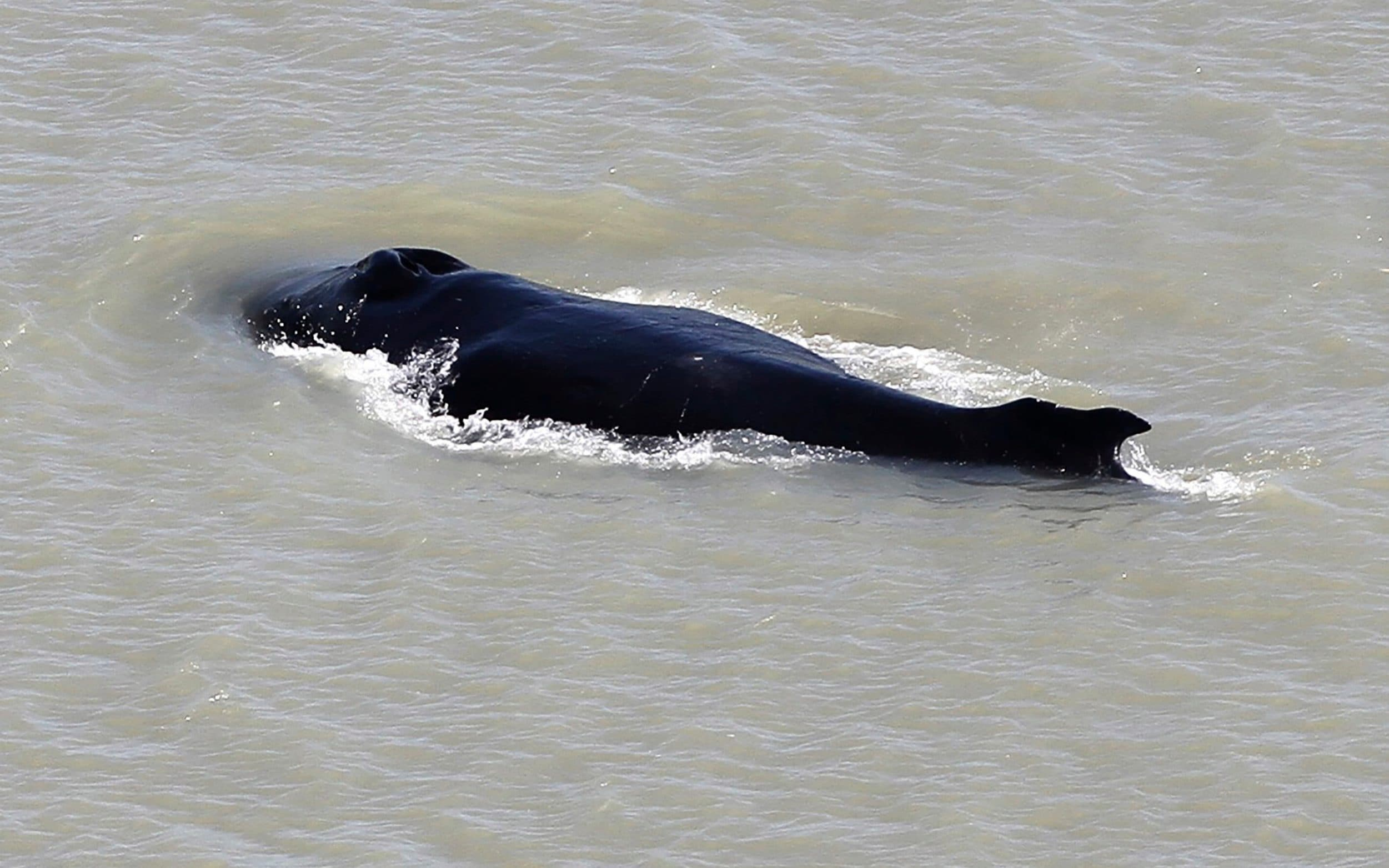 Lost whale swims free from crocodile-infested river in Australia