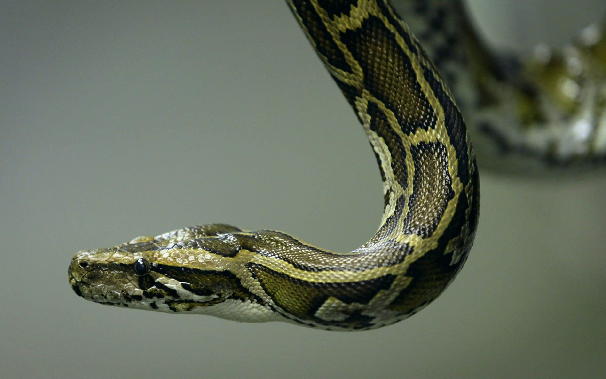 Hunt for pet-eating python as 9ft snake goes on the loose in Cambridge