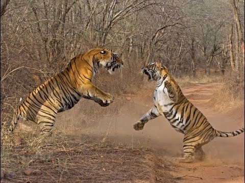 Watch:Video captures tigers fighting brutally in Ranthambore [Video]