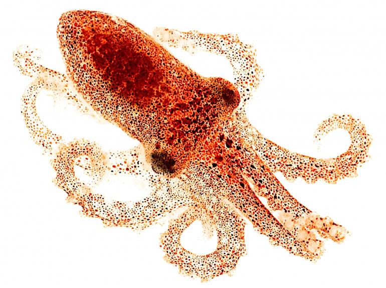 Juvenil de pulpo de California (<i>Octopus bimaculoides</i>), la especie capaz de ver por su piel
