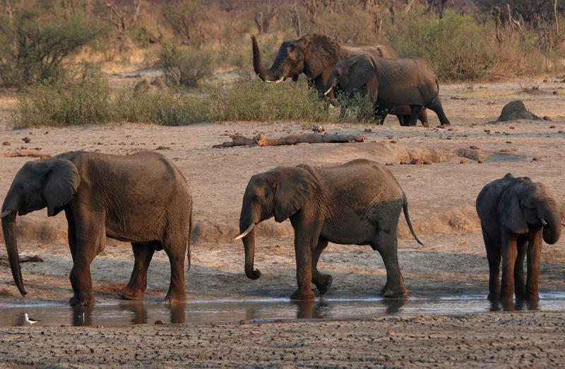 Zimbabwe plans to send dead elephants brain tissue to U.S. for toxin tests