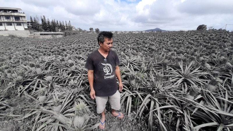 Grey pineapples: Volcano devastates Philippines farm