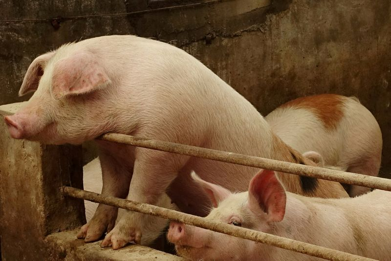 China bans imports of pigs from Indonesia due to African swine fever