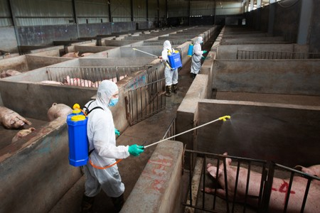 Changing habits: Chinas pig farms clean up to beat swine fever