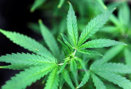 DEA to expand marijuana research after years of delay