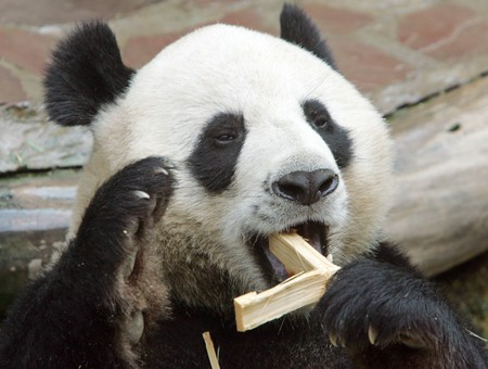 Thai zoo solves mystery of celebrity pandas death