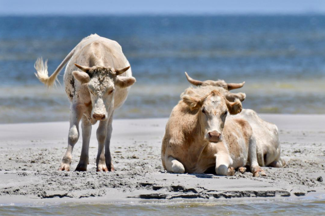Hurricane Dorian swept swimming cows 3km to North Carolina beach