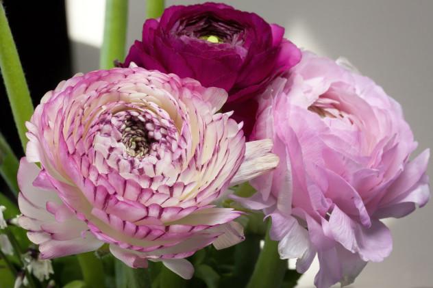 Ranunculusflower