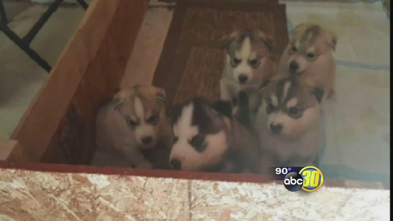 5 Husky puppies stolen from Madera County woman after Craigslist ad