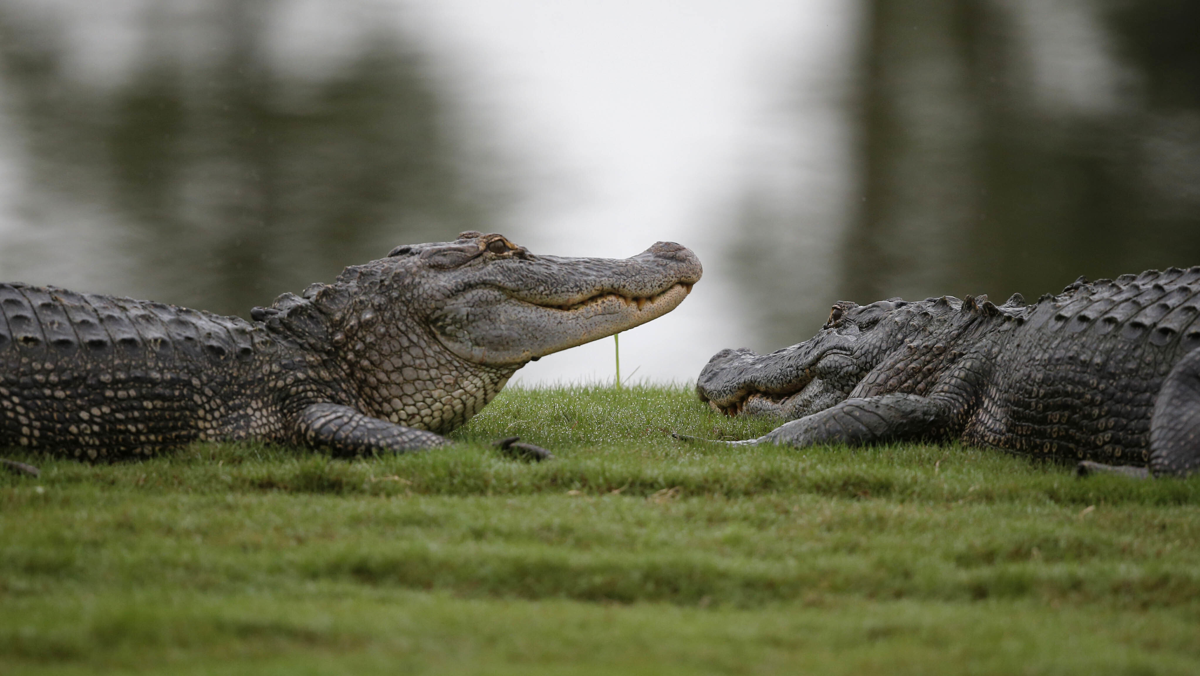 Judge blocks Californias alligator ban after Louisiana sues