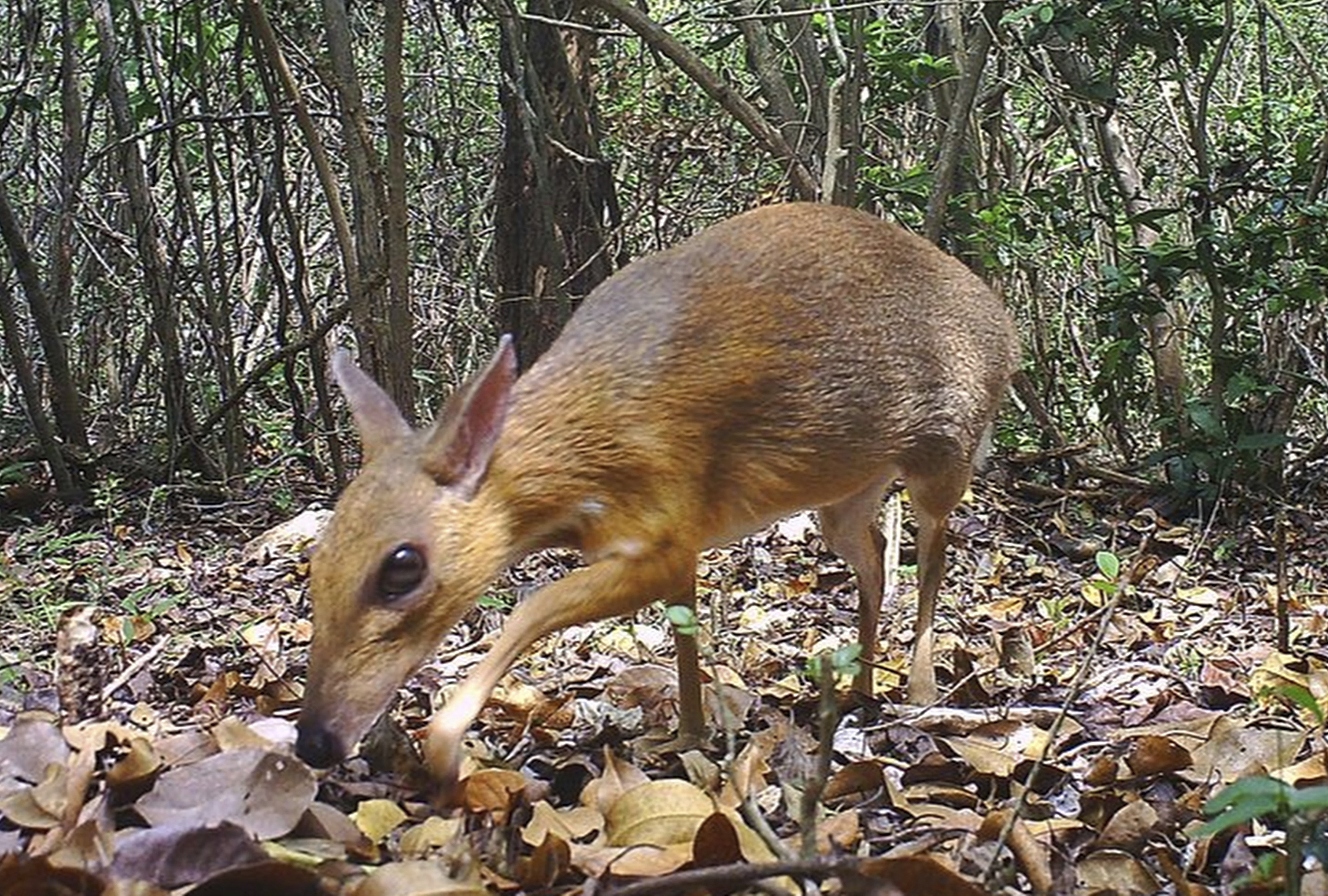 Rare deer-like species photographed for first time in wild
