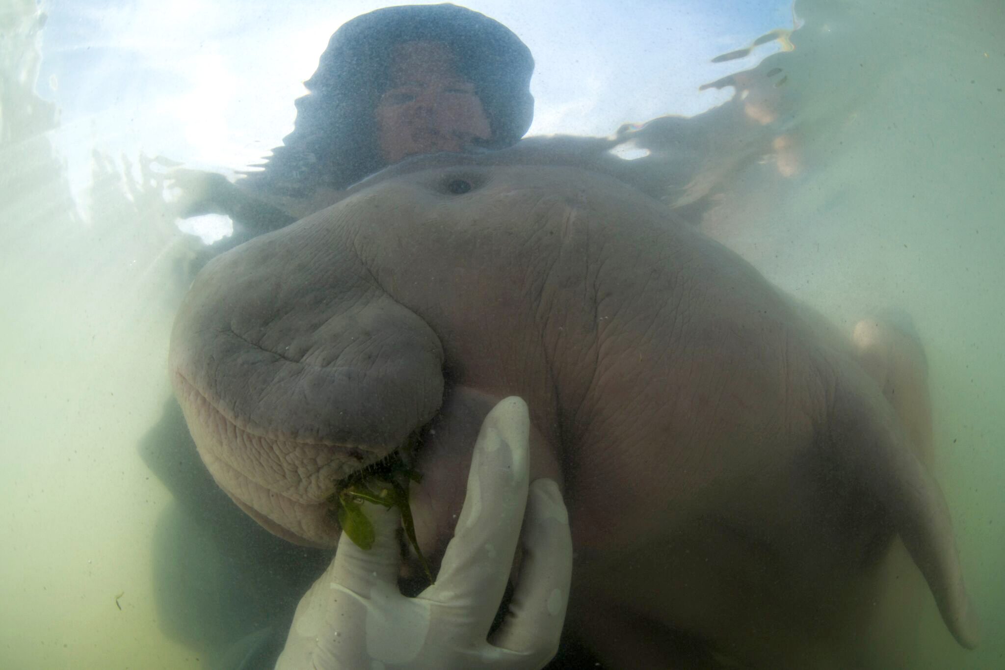 Thailands lost baby dugong dies from shock, eating plastic