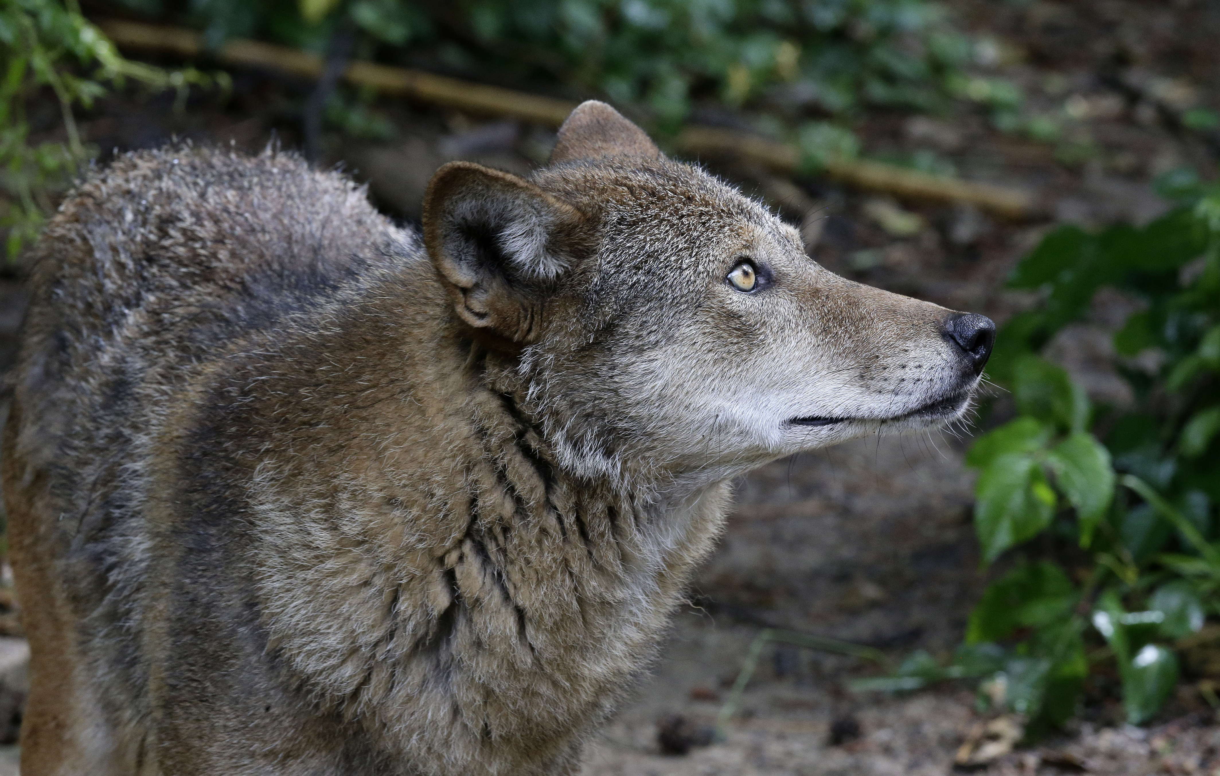 Red wolves court battle reignites as governor urges action