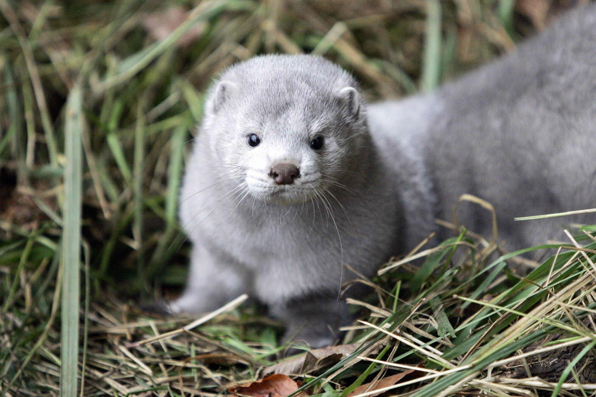 Denmark announces cull of 15 million mink over Covid mutation fears