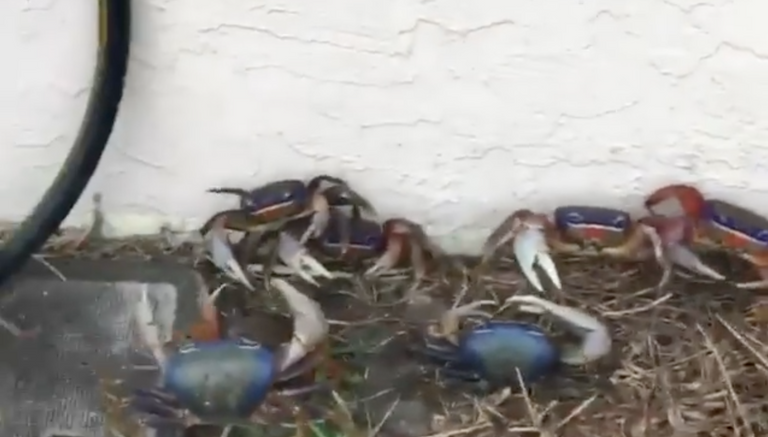 Land crabs infest Florida mans house after heavy rainfall