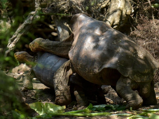 Tortoise who saved species by fathering hundreds returns to Galapagos