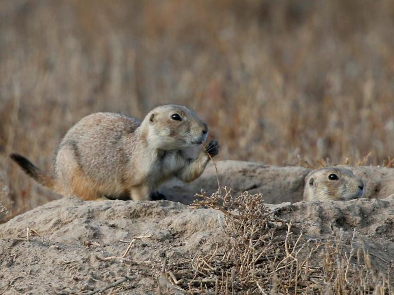 Plague-infected prairie dogs cause shutdown of Colorado wildlife refuges