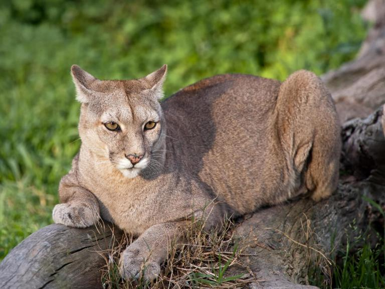 Hiker scares off approaching cougar with Metallica music